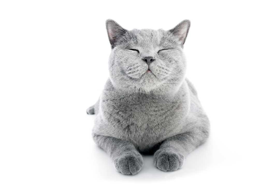 С чего начать разведение кошек и как стать заводчиком