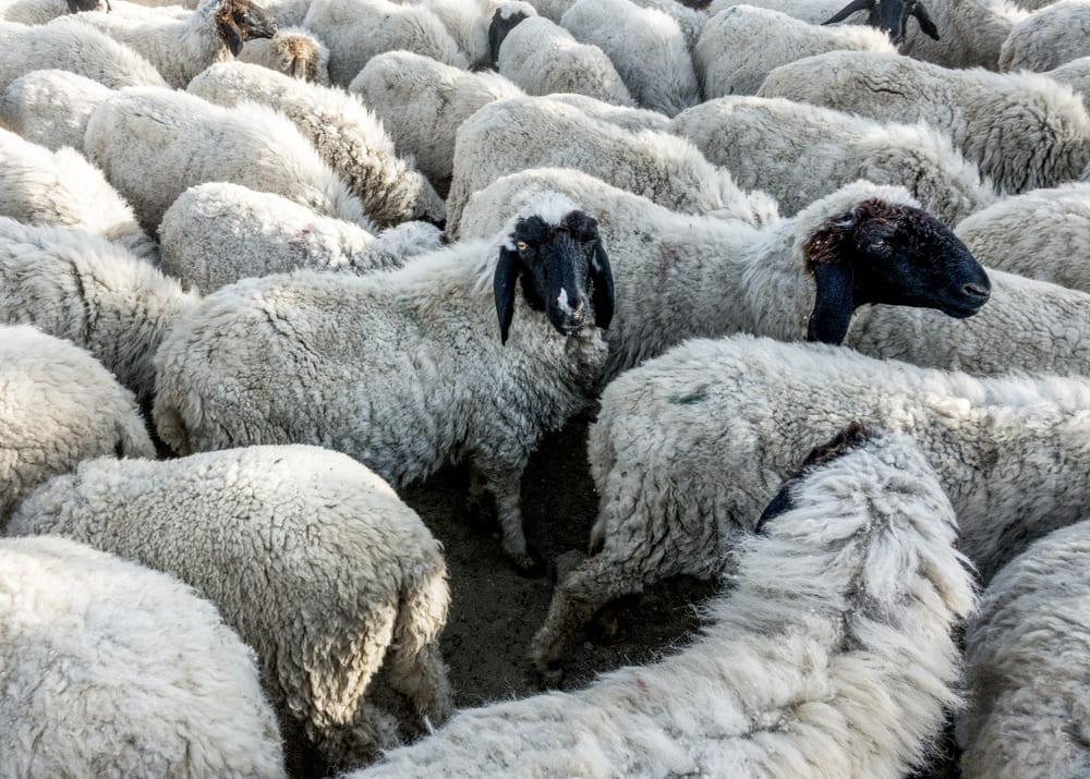 Как разводить баранов на мясо как бизнес