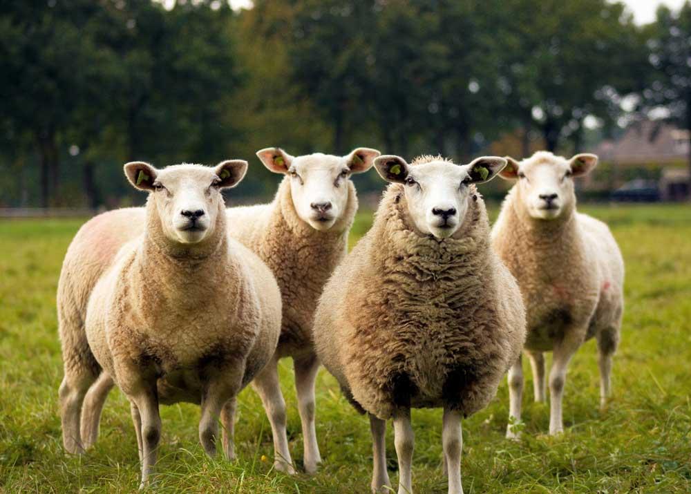 Бизнес план по разведению овцеводства бизнес идея вязание шапок
