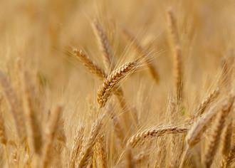 Бизнес по выращиванию пшеницы
