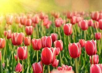 Выращивание тюльпанов в теплицах