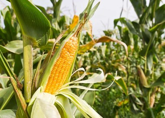 Выращивание кукурузы: рентабельность до 800%