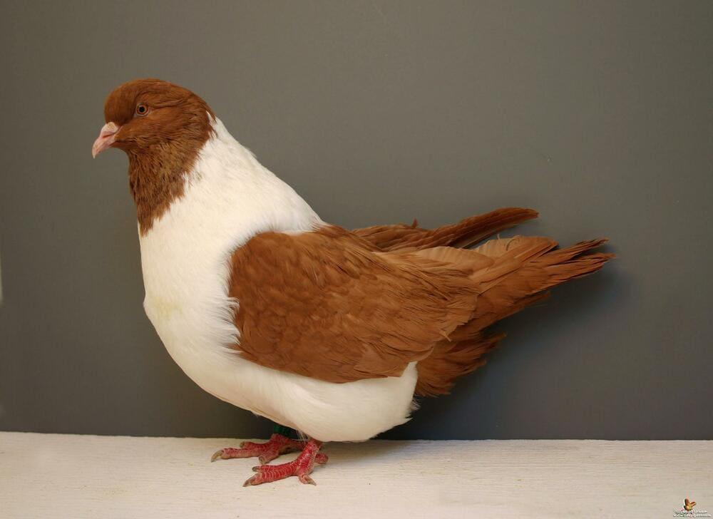 Свой бизнес: разведение мясных пород голубей