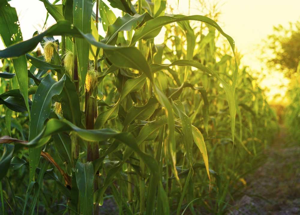 Бизнес-план по организации кукурузного лабиринта