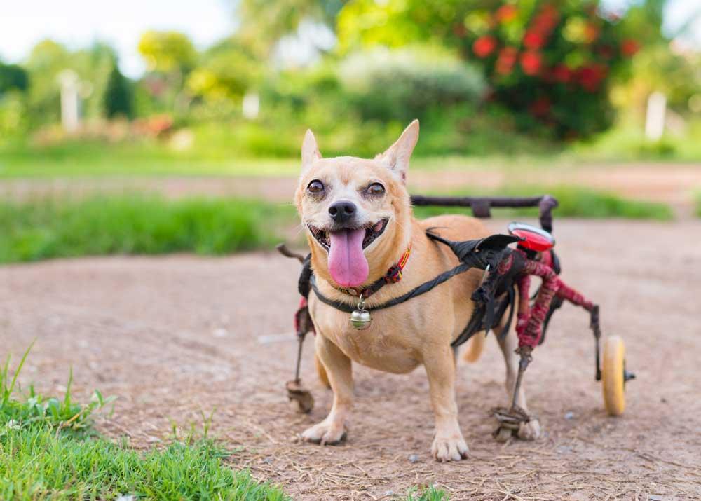Свой бизнес: производство инвалидных колясок для животных