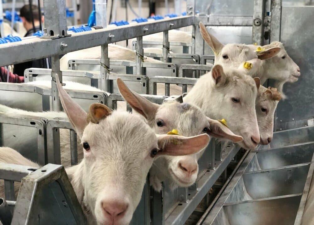 Бизнес-план фермы по производству козьего молока