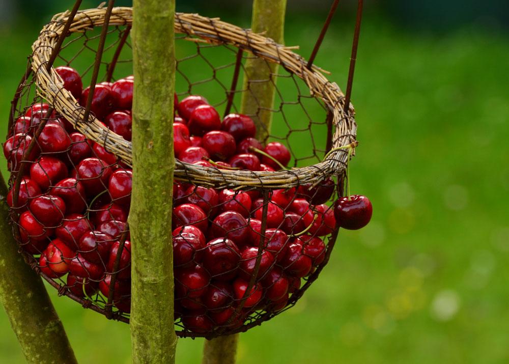 Свой бизнес: выращивание вишни